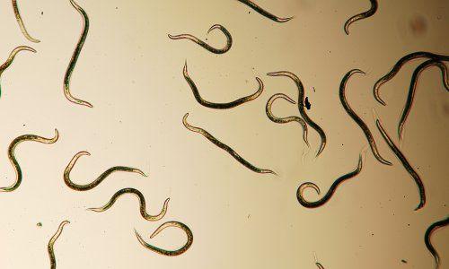 Діагностика і лікування паразитів
