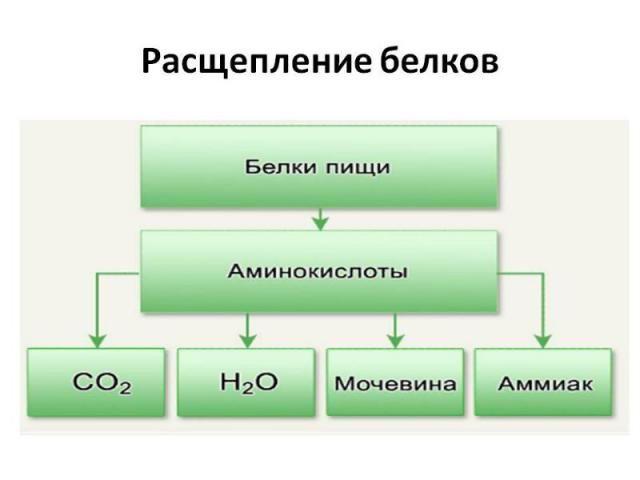 Зберігання білка в організ е