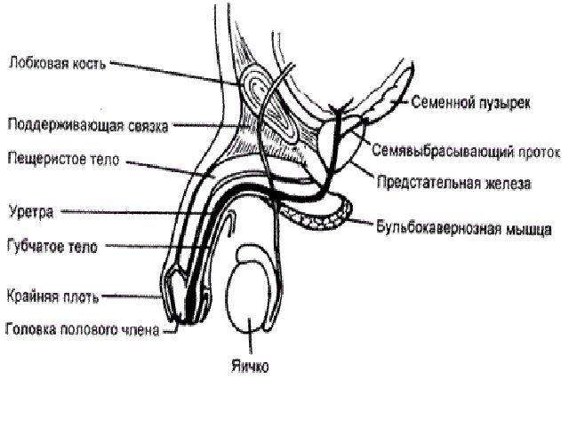 Збільшення головки пеніса